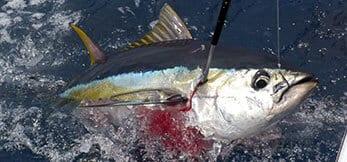 Small yellowfin tuna at the gaff